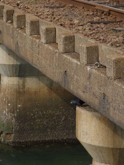 鉄橋のハト.jpg